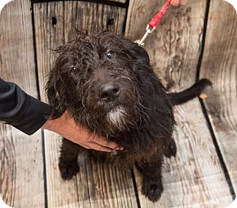Terrier (Unknown Type, Medium)/Labradoodle Mix Dog for adoption in Coventry, Rhode Island - Scott