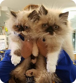 Himalayan Kitten for adoption in Broadway, New Jersey - Indominus
