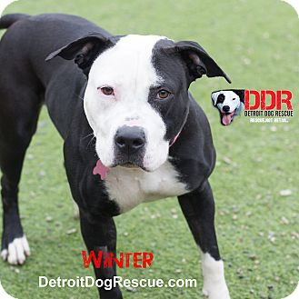 American Pit Bull Terrier Mix Dog for adoption in St. Clair Shores, Michigan - Winter