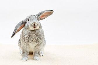 Lop-Eared for adoption in Mill Valley, California - Bebop