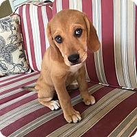 Adopt A Pet :: Elbrus RBF - Harrisonburg, VA