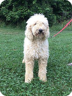 Poodle (Standard) Mix Dog for adoption in Waldorf, Maryland - Mylo