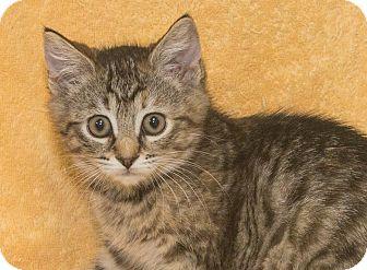 Domestic Shorthair Kitten for adoption in Elmwood Park, New Jersey - Callie