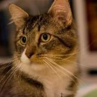 Adopt A Pet :: Stripey - Baltimore, MD