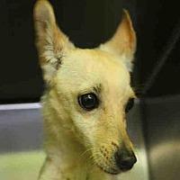 Adopt A Pet :: A1727170 - Los Angeles, CA