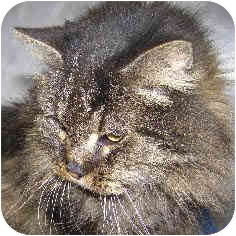 Maine Coon Cat for adoption in Chicago, Illinois - Odetta
