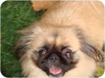 Pekingese Dog for adoption in Richmond, Virginia - Lilly Faith Adoption Pending