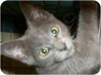 Russian Blue Cat for adoption in Monroe, Georgia - Grayson