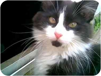 Domestic Mediumhair Cat for adoption in Delmont, Pennsylvania - Minnie