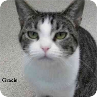 Domestic Shorthair Cat for adoption in Slidell, Louisiana - Gracie