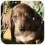 Photo 1 - Dachshund Mix Puppy for adoption in Portland, Maine - Edward