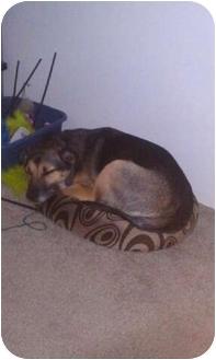 German Shepherd Dog/Border Collie Mix Dog for adoption in Warsaw, Indiana - Isis