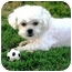 Photo 1 - Lhasa Apso Dog for adoption in Winnetka, California - AUGGIE