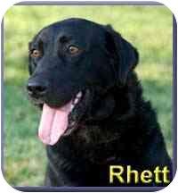 Flat-Coated Retriever Mix Dog for adoption in Aldie, Virginia - Rhett