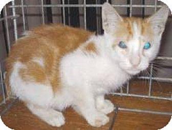 Domestic Shorthair Kitten for adoption in Miami, Florida - Dandelion