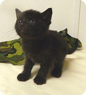 Domestic Shorthair Kitten for adoption in Columbus, Nebraska - Bandit