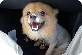 Pomeranian Dog for adoption in Temple City, California - Pomcho