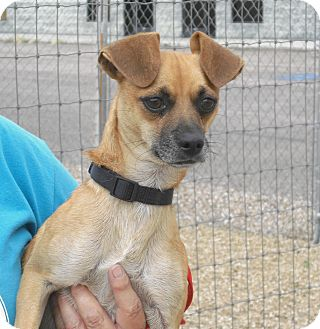 Chihuahua Mix Dog for adoption in Wickenburg, Arizona - Tiny