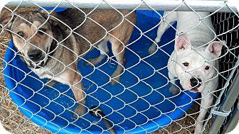 German Shepherd Dog/Labrador Retriever Mix Dog for adoption in Woodlawn, Tennessee - Bella