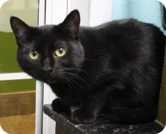 Domestic Shorthair Cat for adoption in West Des Moines, Iowa - Lissa