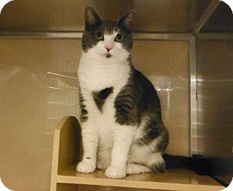 Domestic Shorthair Cat for adoption in Woodstock, Georgia - Bonita
