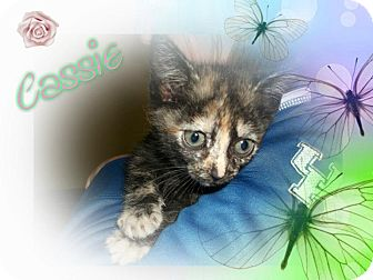 Domestic Shorthair Cat for adoption in Washington, D.C. - Cassie