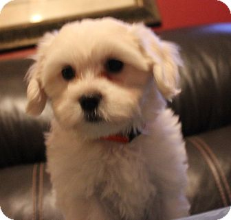 Maltese Mix Puppy for adoption in Chicago, Illinois - HOPE