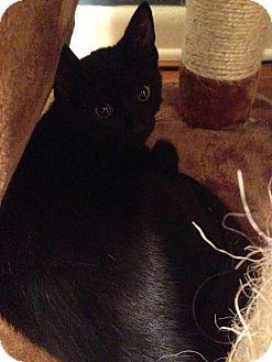 Domestic Shorthair Kitten for adoption in Warren, Michigan - Aqua
