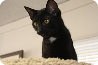 Domestic Shorthair Cat for adoption in Homewood, Alabama - Zeppo