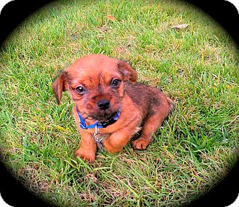 Yorkie, Yorkshire Terrier/Chihuahua Mix Puppy for adoption in Cypress, California - Monkey