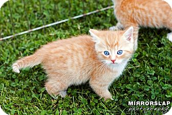 Domestic Shorthair Kitten for adoption in Monterey, Virginia - Tangerine