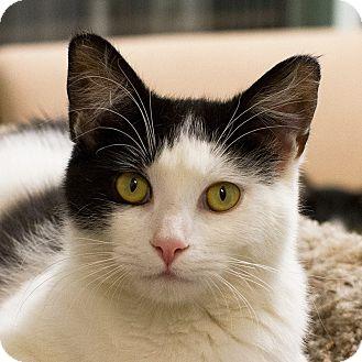 Domestic Shorthair Cat for adoption in Gilbert, Arizona - Monette