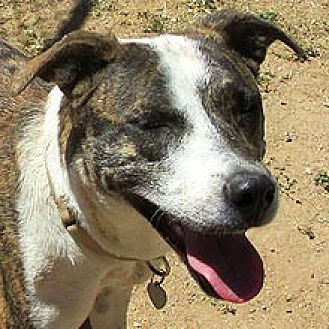 Cattle Dog Mix Dog for adoption in Phoenix, Arizona - Starr