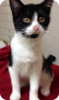 Domestic Shorthair Kitten for adoption in Toledo, Ohio - Angel