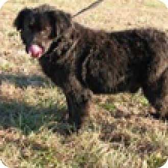 Spaniel (Unknown Type)/Labrador Retriever Mix Dog for adoption in Hatifeld, Pennsylvania - Phoenix
