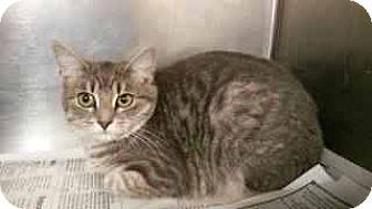 Domestic Shorthair Cat for adoption in Prestonsburg, Kentucky - shay