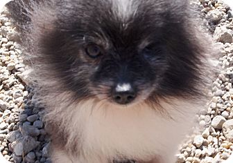 Pomeranian Dog for adoption in Prole, Iowa - Cameron