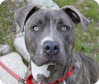 Pit Bull Terrier Mix Dog for adoption in Buena Vista, Colorado - Kato