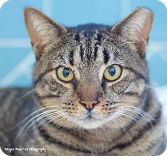 Domestic Shorthair Cat for adoption in Huntsville, Alabama - Rock