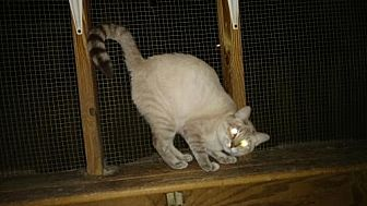 Siamese Cat for adoption in Land O Lakes, Florida - Adell