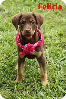 Golden Retriever/Catahoula Leopard Dog Mix Puppy for adoption in Haggerstown, Maryland - Felicia
