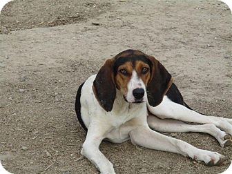 Treeing Walker Coonhound Dog for adoption in Liberty Center, Ohio - Jackie