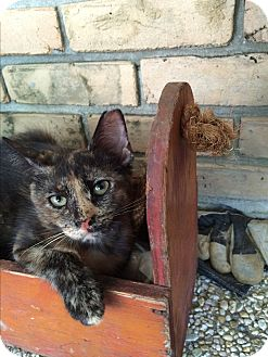 Domestic Shorthair Kitten for adoption in Waggaman, Louisiana - Lacey
