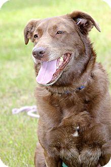 Labrador Retriever/Chesapeake Bay Retriever Mix Dog for adoption in Brattleboro, Vermont - Fenway
