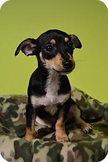 Chihuahua/Dachshund Mix Dog for adoption in Michigan City, Indiana - Dimitri