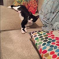 Domestic Shorthair Cat for adoption in Scottsdale, Arizona - Duchess