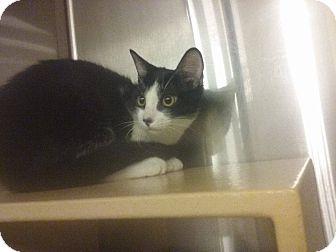 Domestic Shorthair Kitten for adoption in Lancaster, California - Tyme