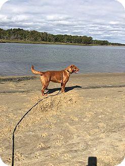 Chesapeake Bay Retriever/Labrador Retriever Mix Dog for adoption in Shelter Island, New York - Gigi