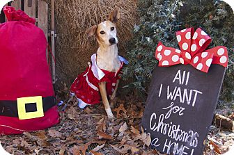 Australian Cattle Dog/Carolina Dog Mix Dog for adoption in Bishopville, South Carolina - Folly