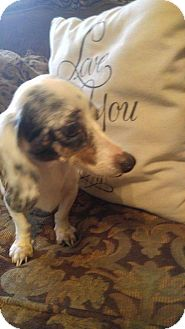 Dachshund Dog for adoption in Pearland, Texas - Abby
